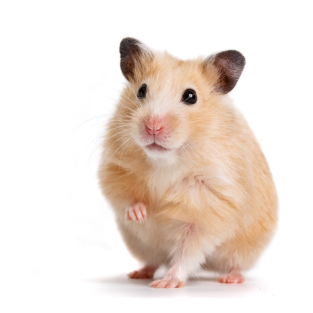 Hamster nain : une créature fascinante